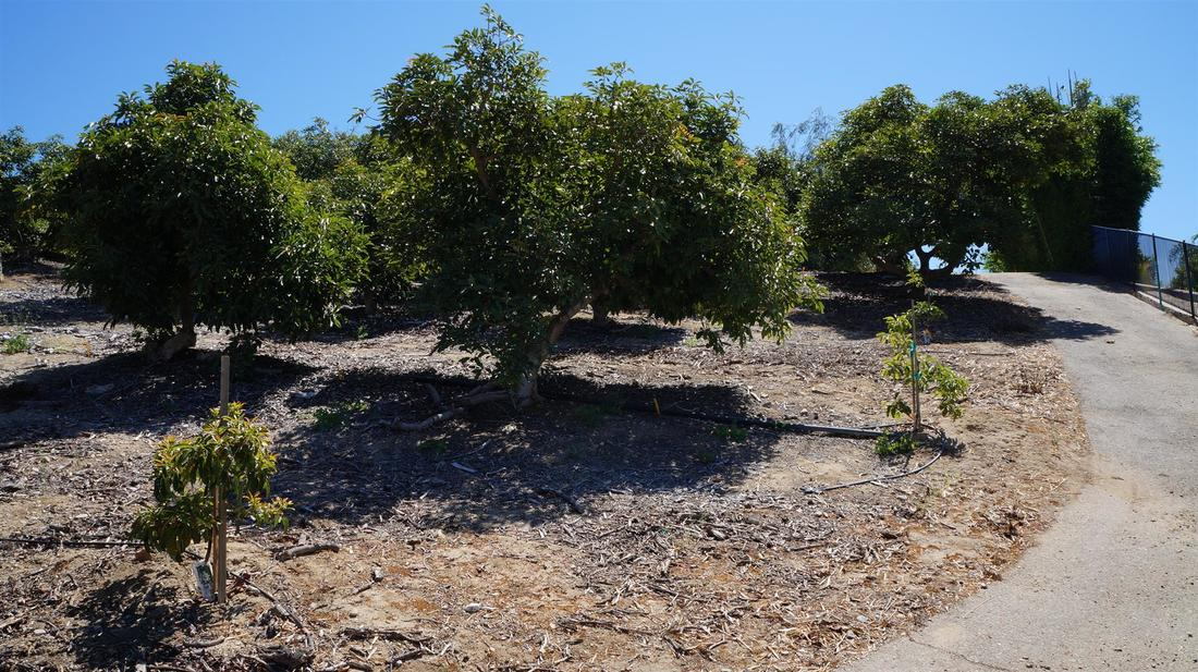 5985 West Greentree Drive, Somis, CA 93066 - Rear Yard/Orchard